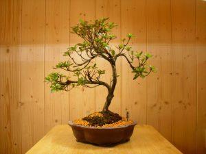 Azalea Bonsai Tree 2