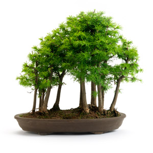 bonsai trees bought bonsai tree