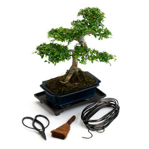 Category Bonsai Tree Kits Our Bonsai Tree Kits are ideal for beginner and as gifts. Each bonsai kit comes with detailed care information and free UK delivery