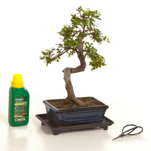 Chinese Elm Gift Set B