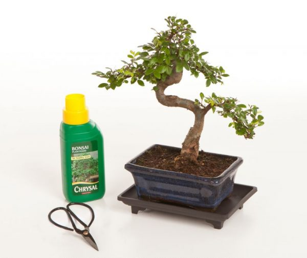 Chinese Elm Gift Set A