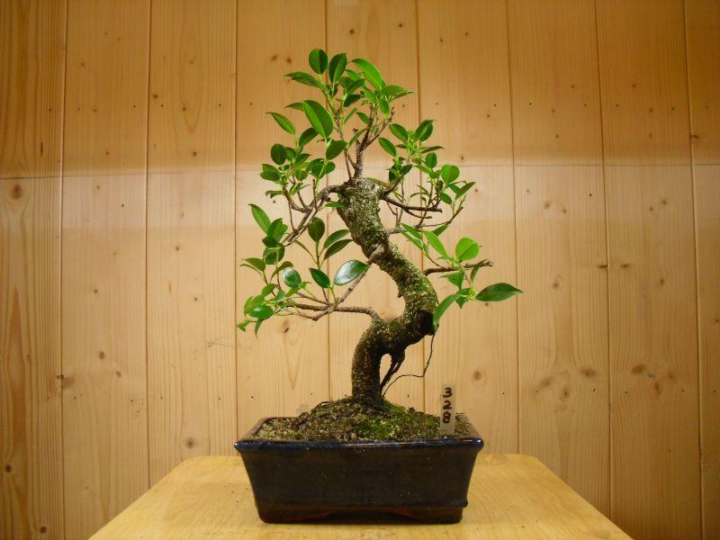 ficus bonsai tree 20cm pot all things bonsai
