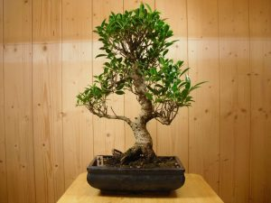 Ficus Bonsai Tree - 25cm Pot