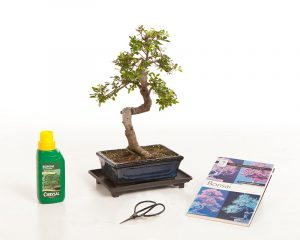 CHINESE ELM BONSAI GIFT SET (CODE B1)