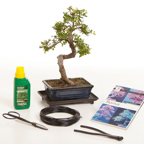 Chinese Elm Bonsai Gift Set B3