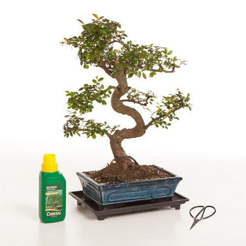 Bonsai Tree Chinese Elm from all things bonsai sheffield yorkshire with free uk delivery