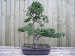 ilex japanese holly bonsai tree