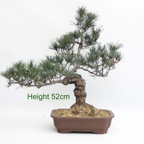 Japanese White Pine Bonsai Tree from All Things Bonsai Sheffield Yorkshire with free uk delivery buy online