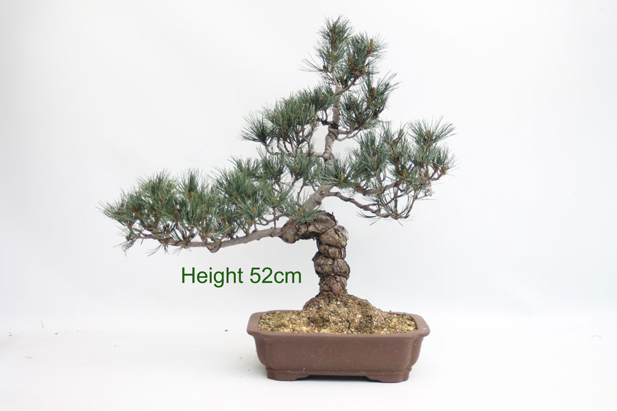 how to grow a pine cone bonsai