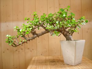 portulacaria bonsai tree all things bonsai