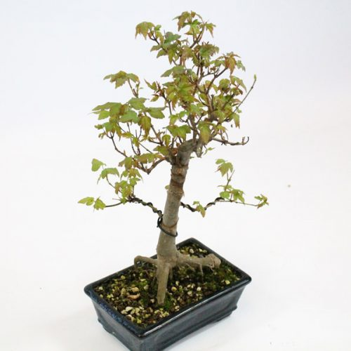 trident maple deciduous outdoor bonsai tree all things bonsai sheffield yorkshire