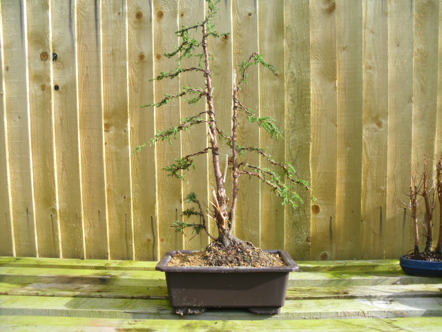 Junipers After