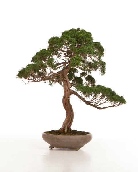 Chinese Juniper Bonsai Tree Care All Things Bonsai