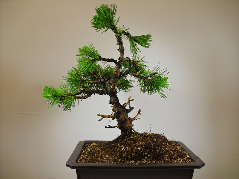 Mugo Pine Bonsai Created From Garden Centre Plant All Things Bonsai