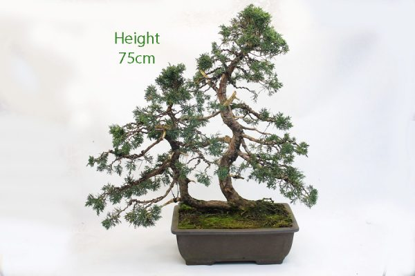 Chinese Juniper Bonsai Tree Number 34 available to buy online from All Things Bonsai Sheffield Yorkshire with free UK delivery