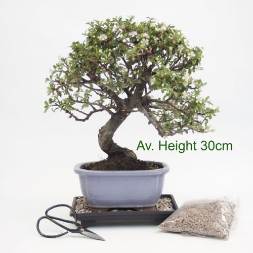 Cotoneaster Flowering Bonsai Tree Gift Set from All Things Bonsai Sheffield Yorkshire with free UK shipping