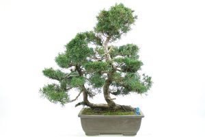 Chinese juniper twin trunked evergreen outdoor bonsai tree all things bonsai sheffield yorkshire