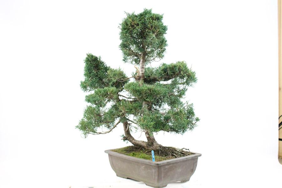 Chinese Juniper Bonsai Tree (34) - ALL THINGS BONSAI
