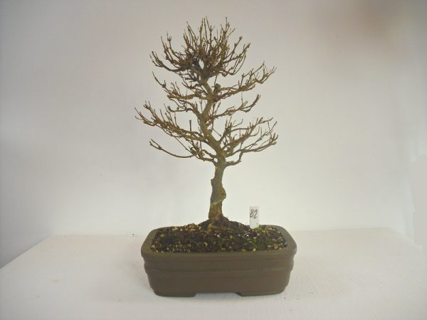 trident maple bonsai tree buy online free uk delivery from all things bonsai sheffield yorkshire
