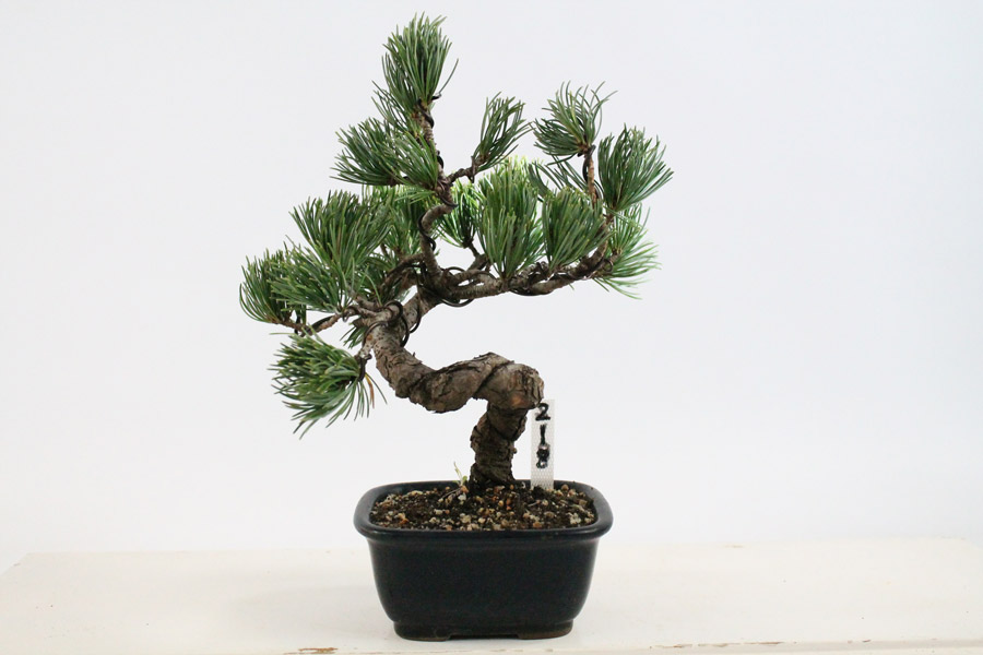 japanese white pine outdoor evergreen bonsai tree all things bonsai sheffield yorkshire