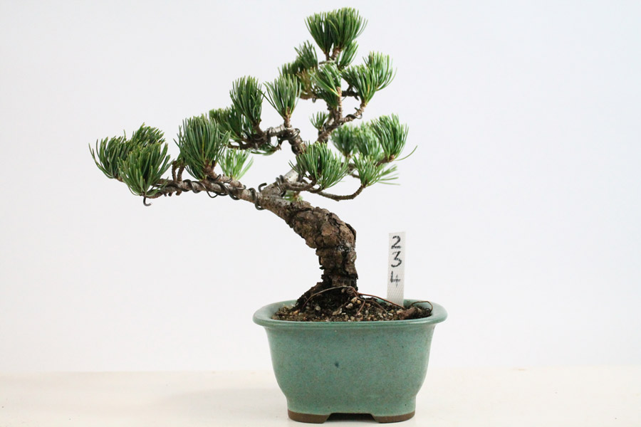 japanese white pine outdoor all things bonsai sheffield yorkshire