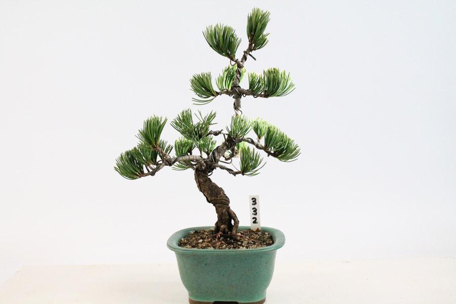 japanese white pine outdoor bonsai tree all things bonsai sheffield yorkshire
