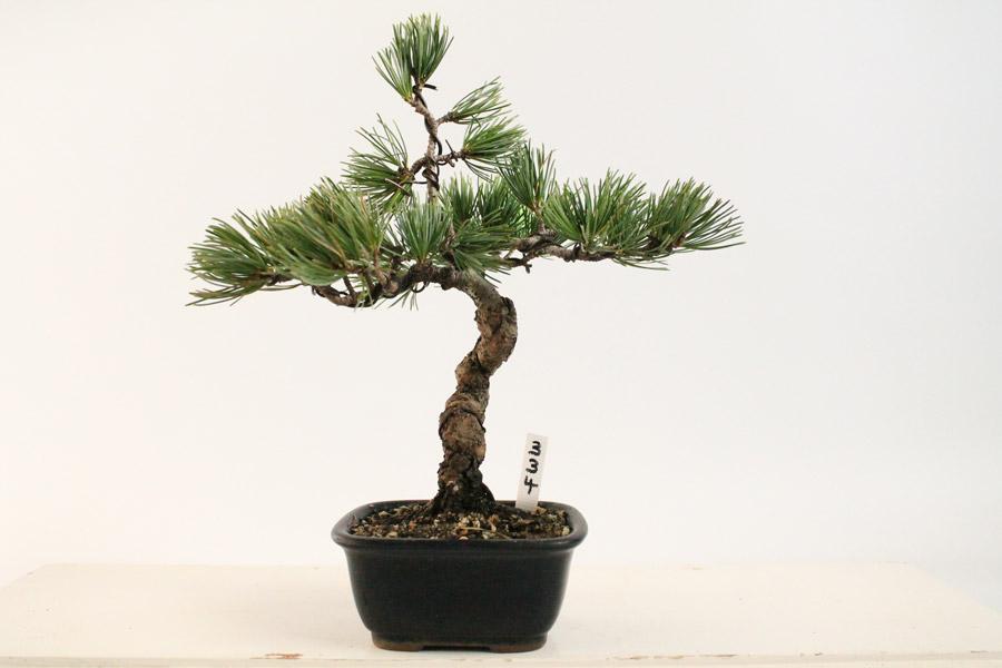 japanese white pine evergreen outdoor bonsai tree all things bonsai sheffield yorkshire