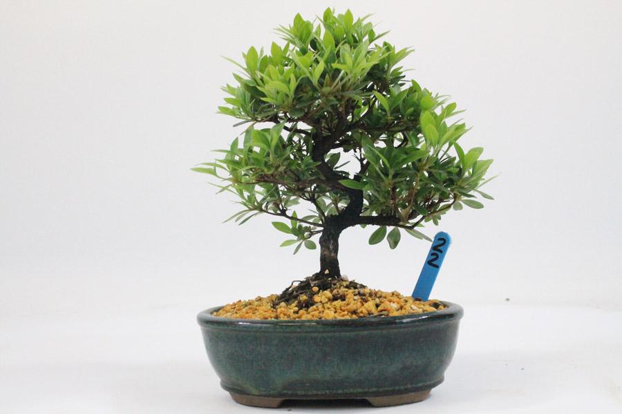 Flowering bonsai tree azalea number 22 all things bonsai for Azalea bonsai