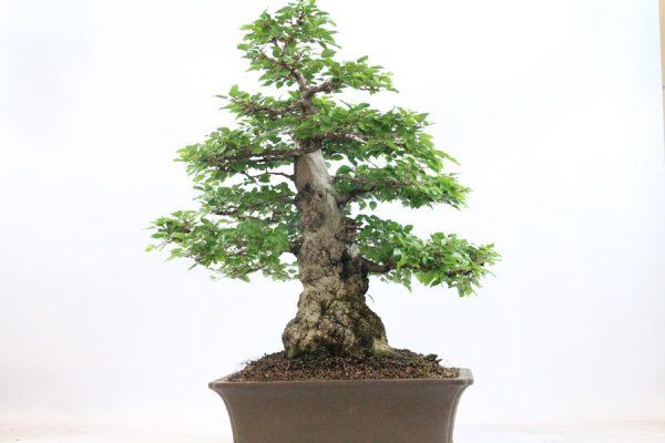 Specimen Korean Hornbeam bonsai tree from All Things Bonsai Sheffield Yorkshire