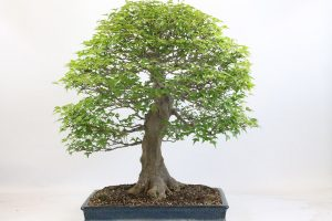 Trident Maple Bonsai Tree from All Things Bonsai Sheffield Yorkshire