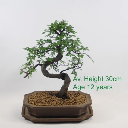Chinese Elm Bonsai Tree Indoor Outdoor deciduous available online from All Things Bonsai Sheffield Yorkshire