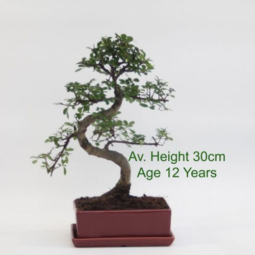 Chinese Elm Bonsai Tree Red Rectangular Pot And Matching Tray available online from All Things Bonsai Sheffield Yorkshire