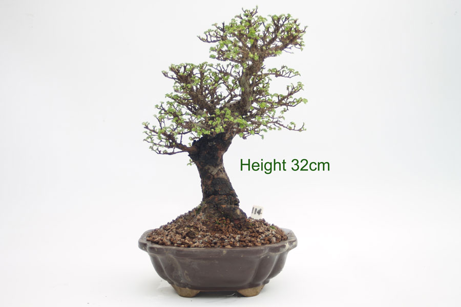 Bonsai Tree Cork Bar Elm Outdoor available online from All Things Bonsai Sheffield Yorkshire
