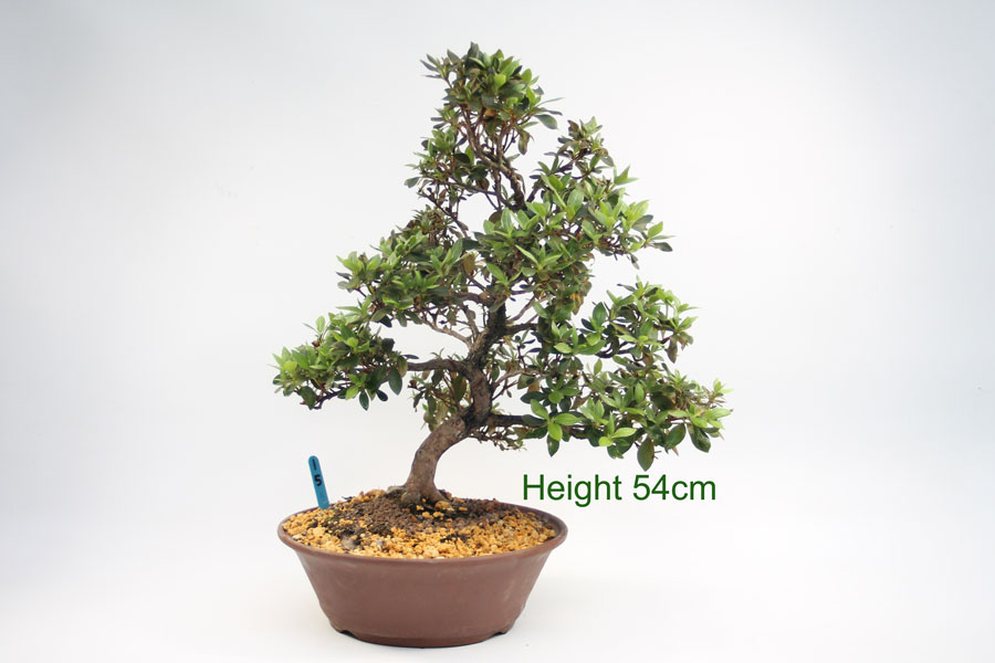 Azalea Flowering Bonsai Tree buy online from All Things Bonsai Sheffield Yorkshire with free UK delivery