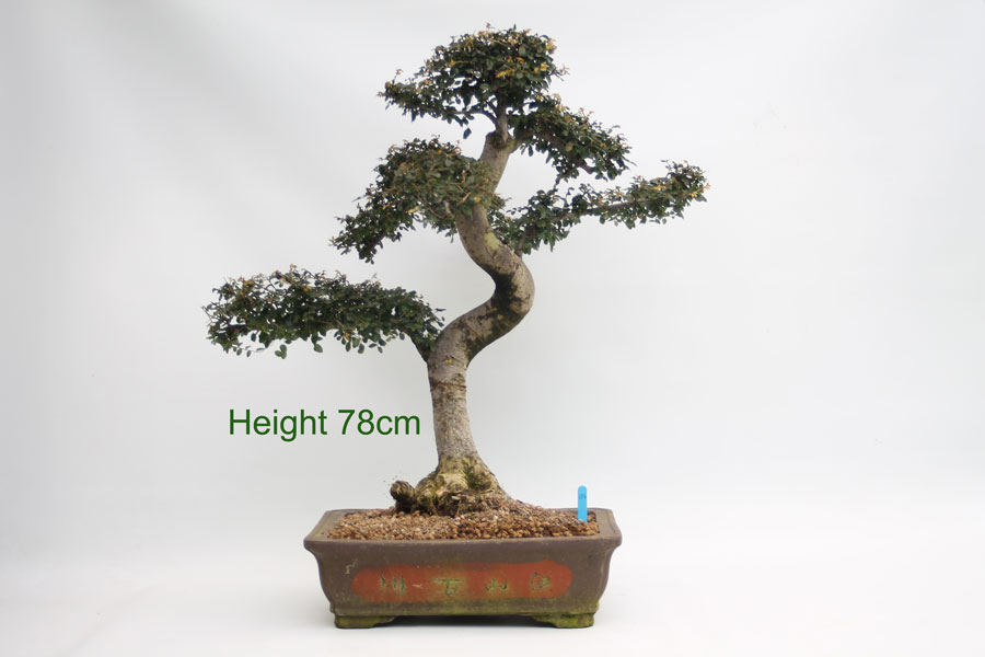 Very Large Chinese Elm Bonsai Tree available to buy from All Things Bonsai Sheffield Yorkshire UK