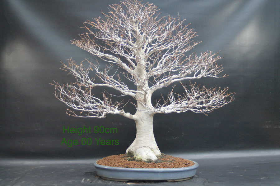 Japanese White Beech Bonsai Tree available to buy for sale from All Things Bonsai Sheffield Yorkshire UK