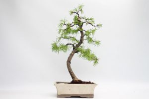 Golden Larch Pseudolarix Bonsai Tree available to buy online from All Things Bonsai Sheffield Yorkshire with free UK delivery