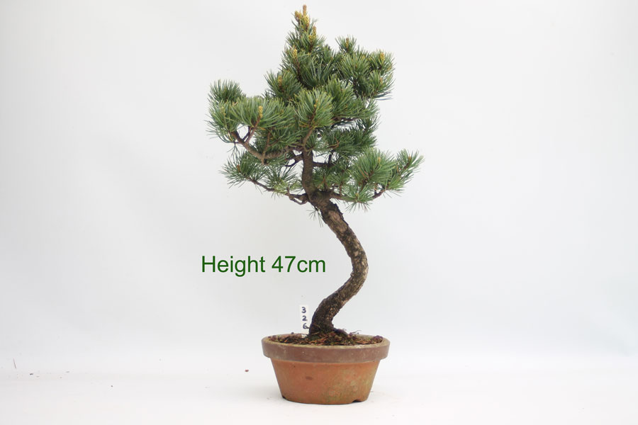Outstanding Japanese White Pine Bonsai Tree Part Trained Number 326 All Things Wiring Cloud Pendufoxcilixyz