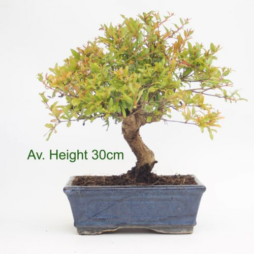 Pomegranate Punica Flowering Bonsai Tree available to buy online from All Things Bonsai with free UK delivery