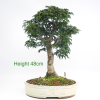 Acer Palmatum Japanese Maple Shishigashira Bonsai Tree available to buy online from All Things Bonsai Sheffield Yorkshire with free UK delivery