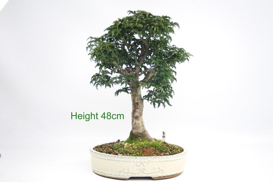 Acer Palmatum Shishigashira Japanese Maple Bonsai Tree Number 30
