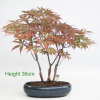 Acer Palmatum Japanese Maple Bonsai Tree available to buy online from All Things Bonsai Sheffield Yorkshire with free UK delivery