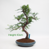 Dawn Redwood Bonsai Tree Metasequoia available to buy onliine from All Things Bonsai Sheffield Yorkshire with free UK delivery