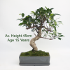 Ficus Bonsai Tree Grey Rectangular Pot 15 Year Old Tree available to by online from All Things Bonsai Sheffield Yorkshire with free UK delivery