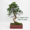Ficus Bonsai Tree Red Rectangular Pot 15 Year Old Tree available to by online from All Things Bonsai Sheffield Yorkshire with free UK delivery