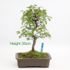 Trident Maple Acer Bonsai Tree Decidous available to buy online from All Things Bonsai Sheffield UK