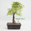 Zelkova Serrata Japanese Elm Bonsi Tree available to buy online from All Things Bonsai Sheffield Yorkshire with free UK delivery