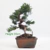 Chinese Juniper Bonsai Tree from All Things Bonsai Sheffield Yorkshire