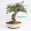 Mulberry flowering bonsai tree available to buy online from All Things Bonsai Sheffield Yorkshire with free UK delivery