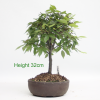 Broom Style Zelkova Serrata Bonsai Tree available to buy online from All Things Bonsai Sheffield Yorkshire with free UK delivery